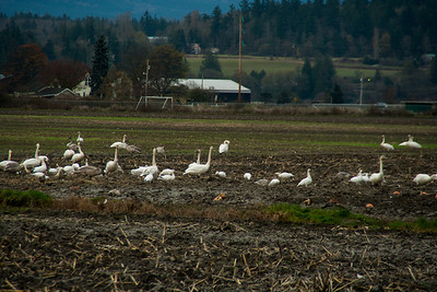 Snow Geese & Trumpeter Swans
