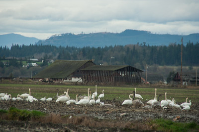 Snow Geese & Trumpeter Swans-21