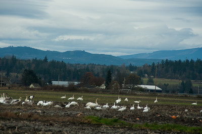 Snow Geese & Trumpeter Swans-11
