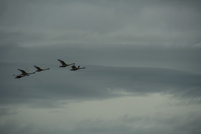 Snow Geese & Trumpeter Swans-22