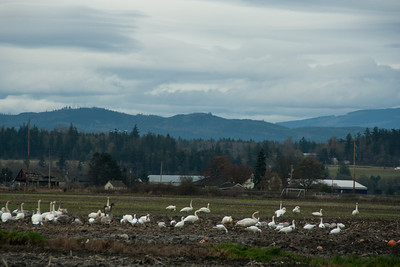 Snow Geese & Trumpeter Swans-12