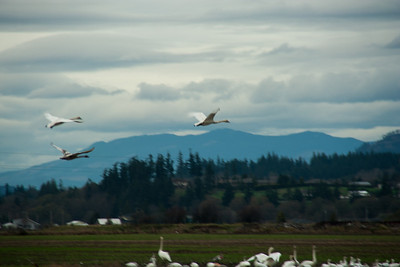 Snow Geese & Trumpeter Swans-5