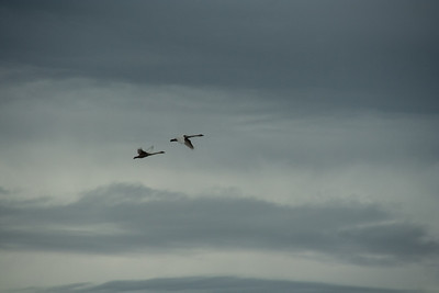 Snow Geese & Trumpeter Swans-14