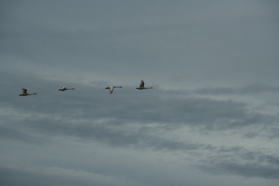 Snow Geese & Trumpeter Swans-27
