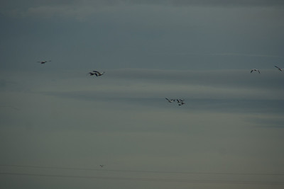Snow Geese & Trumpeter Swans-8