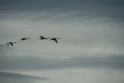 Snow Geese & Trumpeter Swans-23