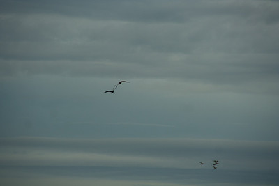 Snow Geese & Trumpeter Swans-9