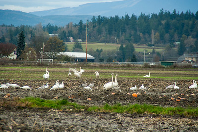 Snow Geese & Trumpeter Swans-4