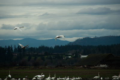Snow Geese & Trumpeter Swans-6