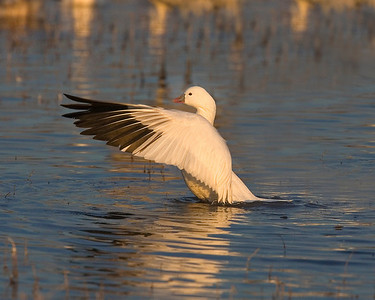 This photograph of a Snow Goose stretching the wings was captured in Bosque Del Apache NWR in New Mexico (12/07).   This photograph is protected by the U.S. Copyright Laws and shall not to be downloaded or reproduced by any means without the formal written permission of Ken Conger Photography.