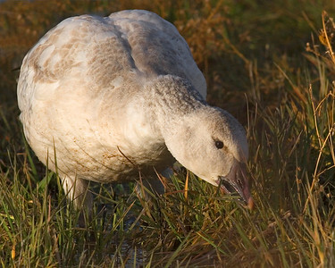 This immature Snow Goose photograph was captured in Bosque Del Apache NWR in New Mexico (12/07).   This photograph is protected by the U.S. Copyright Laws and shall not to be downloaded or reproduced by any means without the formal written permission of Ken Conger Photography.