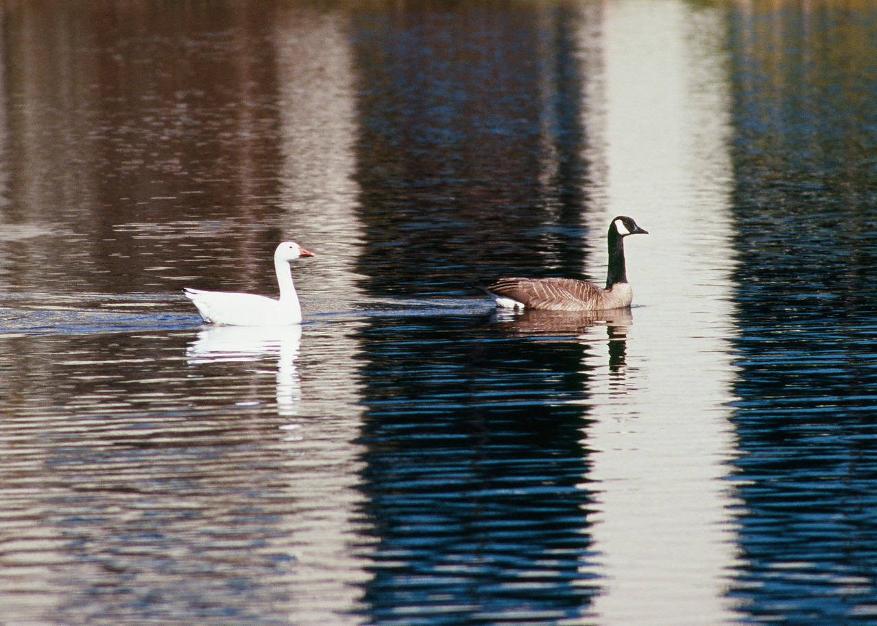 Snow Goose and Canadian Goose pair