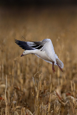 This afternoon photograph of an incoming Snow Goose in flight was taken at Bosque Del Apache National Wildlife Refuge near Socorro, New Mexico (12/05).  This photograph is protected by the U.S. Copyright Laws and shall not to be downloaded or reproduced by any means without the formal written permission of Ken Conger Photography.