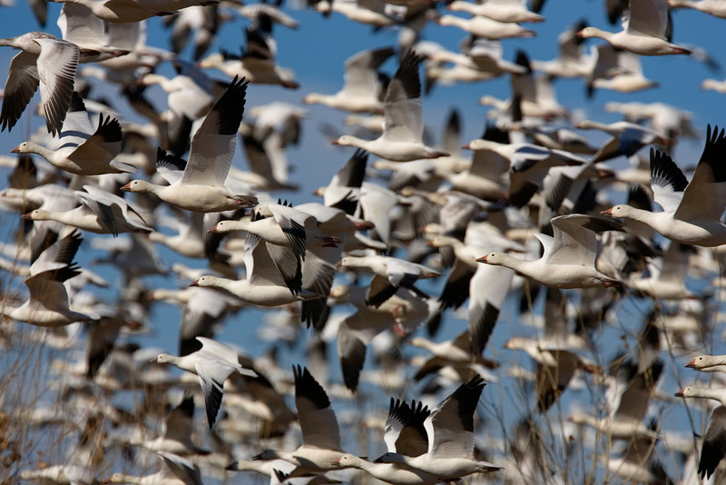 This photograph of a massive fly off of Snow Geese was captured in Bosque Del Apache NWR in New Mexico (12/07).   This photograph is protected by the U.S. Copyright Laws and shall not to be downloaded or reproduced by any means without the formal written permission of Ken Conger Photography.