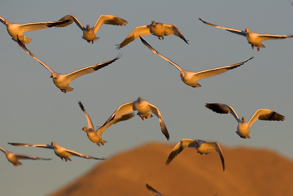 This late afternoon photograph of incoming Snow Geese in flight was taken at Bosque Del Apache National Wildlife Refuge near Socorro, New Mexico (12/05).  This photograph is protected by the U.S. Copyright Laws and shall not to be downloaded or reproduced by any means without the formal written permission of Ken Conger Photography.