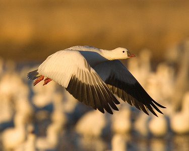 This Ross Goose photograph was captured in Bosque Del Apache NWR in New Mexico (12/07).   This photograph is protected by the U.S. Copyright Laws and shall not to be downloaded or reproduced by any means without the formal written permission of Ken Conger Photography.
