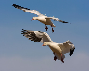 This photograph of Snow Geese was captured in Bosque Del Apache NWR in New Mexico (12/07).   This photograph is protected by the U.S. Copyright Laws and shall not to be downloaded or reproduced by any means without the formal written permission of Ken Conger Photography.