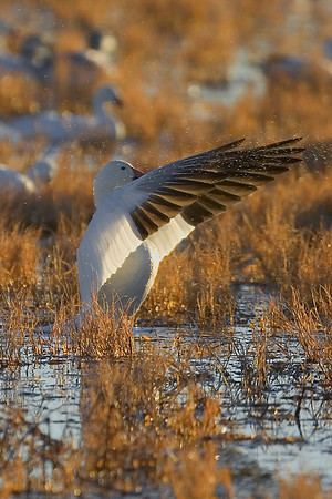 This moring photograph of a Snow Goose getting ready to take off was taken at Bosque Del Apache National Wildlife Refuge near Socorro, New Mexico (12/05).  This photograph is protected by the U.S. Copyright Laws and shall not to be downloaded or reproduced by any means without the formal written permission of Ken Conger Photography.