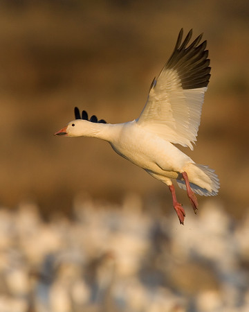 This photograph of a Snow Goose was captured in Bosque Del Apache NWR in New Mexico (12/07).   This photograph is protected by the U.S. Copyright Laws and shall not to be downloaded or reproduced by any means without the formal written permission of Ken Conger Photography.