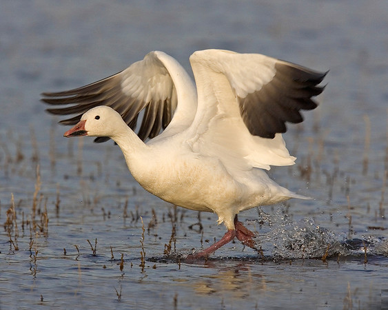 This photograph of a Snow Goose taking off  was captured in Bosque Del Apache NWR in New Mexico (12/07).   This photograph is protected by the U.S. Copyright Laws and shall not to be downloaded or reproduced by any means without the formal written permission of Ken Conger Photography.