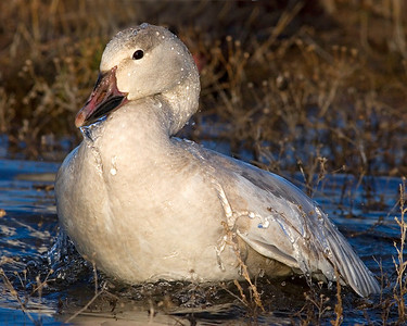 This bathing Snow Goose photograph was captured in Bosque Del Apache NWR in New Mexico (12/07).   This photograph is protected by the U.S. Copyright Laws and shall not to be downloaded or reproduced by any means without the formal written permission of Ken Conger Photography.