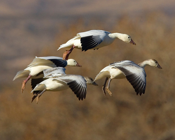 This photograph of incoming Snow Geese photograph was captured in Bosque Del Apache NWR in New Mexico (12/07).   This photograph is protected by the U.S. Copyright Laws and shall not to be downloaded or reproduced by any means without the formal written permission of Ken Conger Photography.