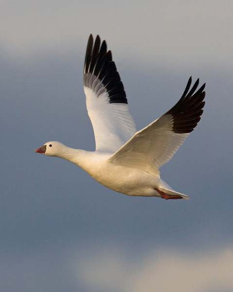 This photograph of a Ross Goose was captured in Bosque Del Apache NWR in New Mexico (12/07).   This photograph is protected by the U.S. Copyright Laws and shall not to be downloaded or reproduced by any means without the formal written permission of Ken Conger Photography.