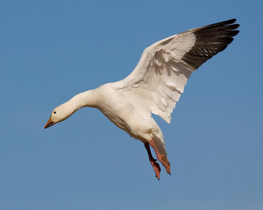 This Snow Goose photograph was captured in Bosque Del Apache NWR in New Mexico (12/07).   This photograph is protected by the U.S. Copyright Laws and shall not to be downloaded or reproduced by any means without the formal written permission of Ken Conger Photography.