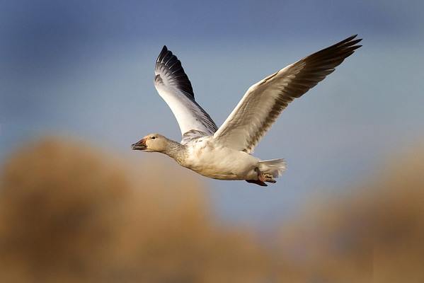 This afternoon photograph of a Snow Goose in flight was taken at Bosque Del Apache National Wildlife Refuge near Socorro, New Mexico (12/05).  This photograph is protected by the U.S. Copyright Laws and shall not to be downloaded or reproduced by any means without the formal written permission of Ken Conger Photography.