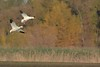 Snow goose Poster  072