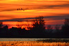 Snow Goose Sunrise 16 copy