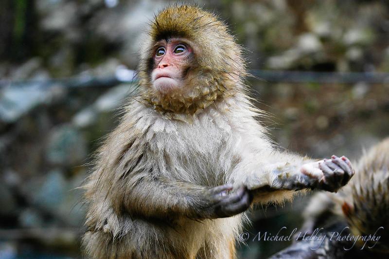 Snow Monkeys - Nagano Prefecture