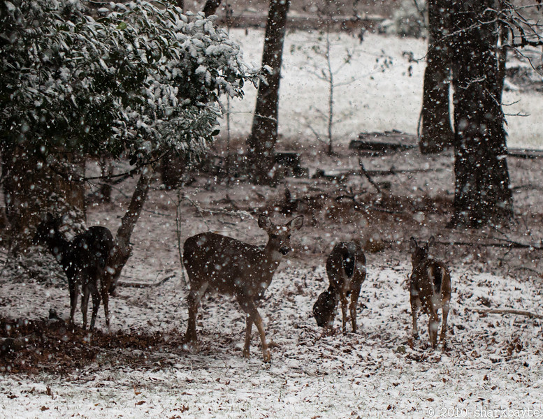 It started snowing today. We were told would unlikely to make it to the ground, but if it did, it wouldn't stick!! My lying eyes! The deer were having fun.