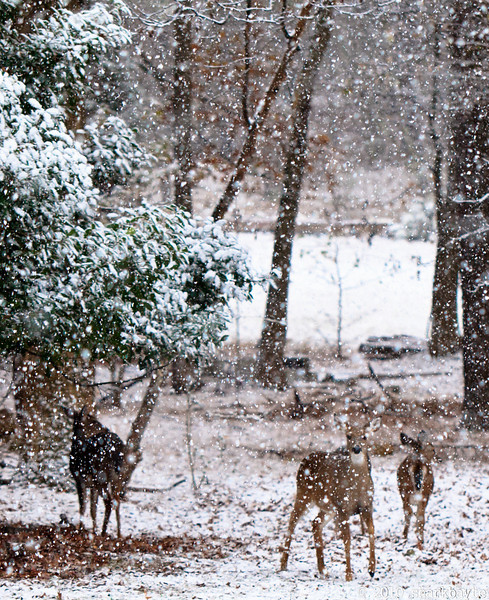 It started snowing today. We were told would unlikely to make it to the ground, but if it did, it wouldn't stick!! My lying eyes! Even the deer were wondering what was going on!