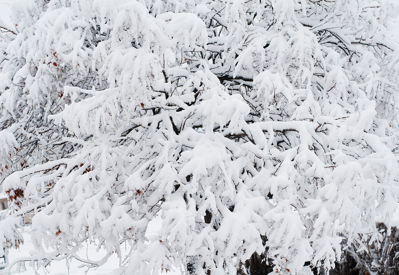 Tree Limbs with Snow