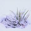 Wintering Yucca