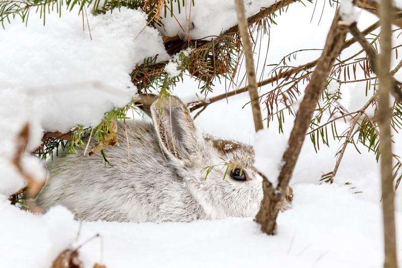 Snow Bunny (2)