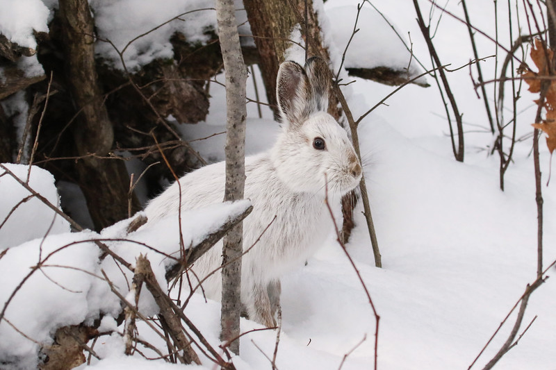 Close Encounter with a Snowshoe Hare 10