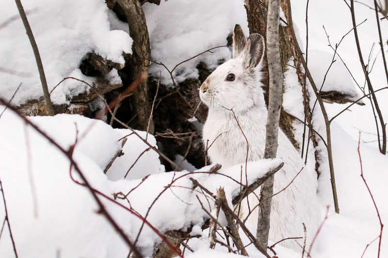 Close Encounter with a Snowshoe Hare 4