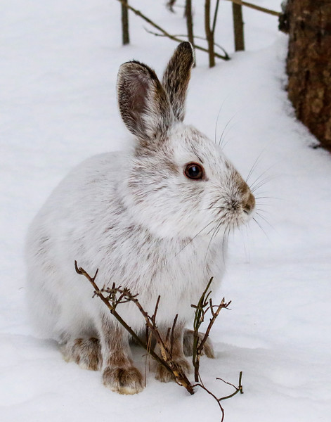 Close Encounter with a Snowshoe Hare 25