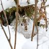 Hiding Snowshoe Hare (3)