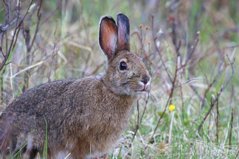 Snowshore Hare  1