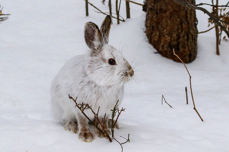 Close Encounter with a Snowshoe Hare 24