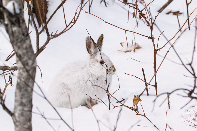 Close Encounter with a Snowshoe Hare 16