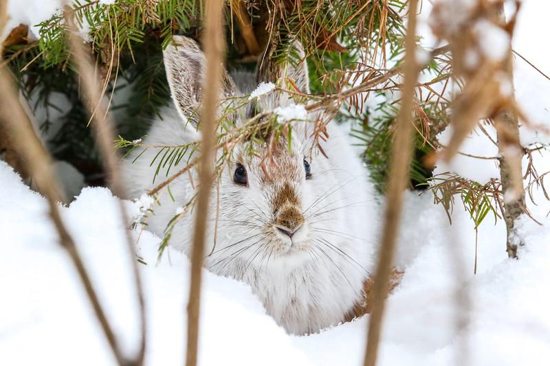 Hiding Snowshoe Hare (2)