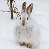 Close Encounter with a Snowshoe Hare 20