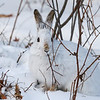 Snowshoe Hare Eating Lunch 1