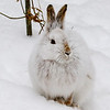 Close Encounter with a Snowshoe Hare 22