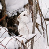 Close Encounter with a Snowshoe Hare 5