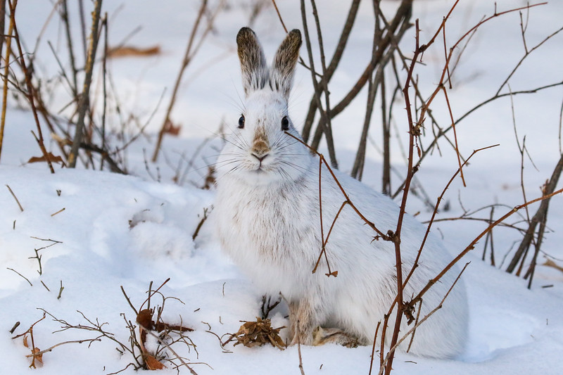 Snowshoe Hare Eating Lunch 4